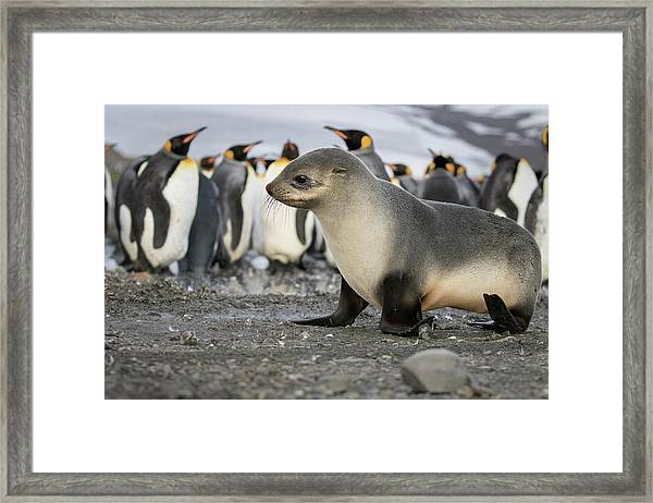 Seal Pup With King Penguins On Beach Framed Print by Tom Norring
