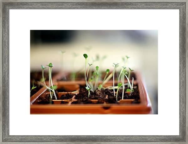 Seedlings Growing In Small Tray Framed Print