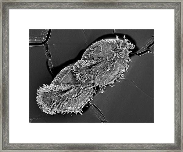 Sem Of Tetmemena Pustulata Dividing Cell Framed Print by Aaron Bell