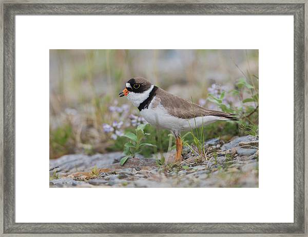 Semipalmated Plover Calling, Creek Bed Framed Print by Ken Archer