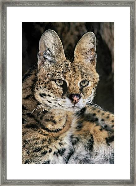 Serval Portrait Wildlife Rescue Framed Print