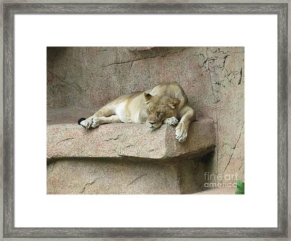 She Lion Framed Print