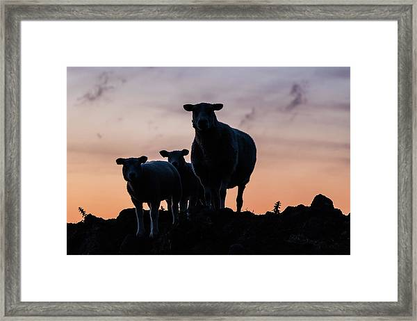 Framed Print featuring the photograph Sheep Family by Anjo Ten Kate