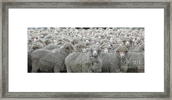 Sheep Looking Framed Print by Lee Torrens
