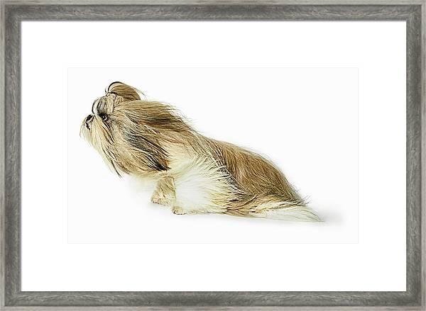 Shih-tzu Dog Fur Blowing In The Wind Framed Print by Gandee Vasan