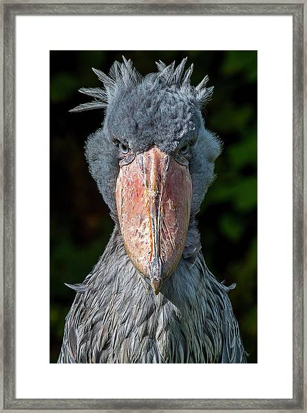 Shoe-billed Stork Framed Print
