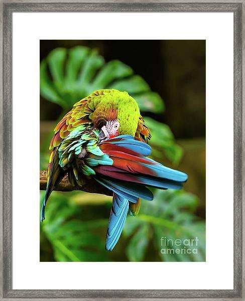 Shy Parrot Framed Print