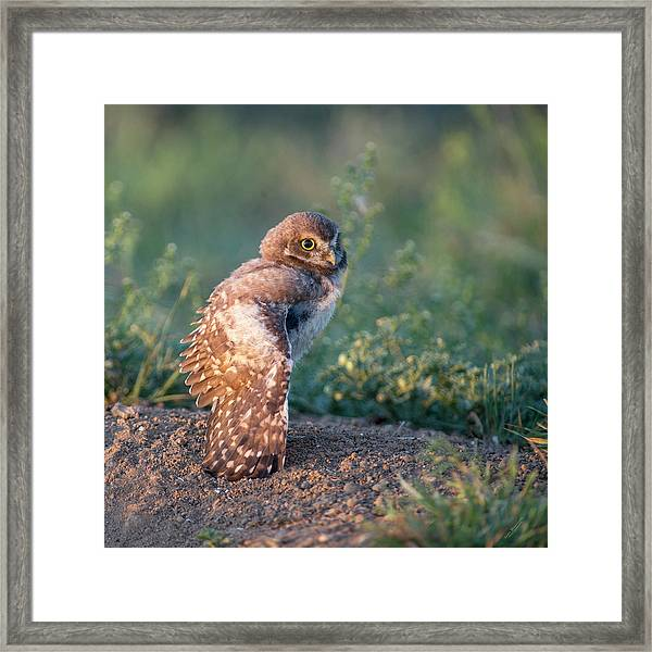 Shy Young Burrowing Owl Framed Print