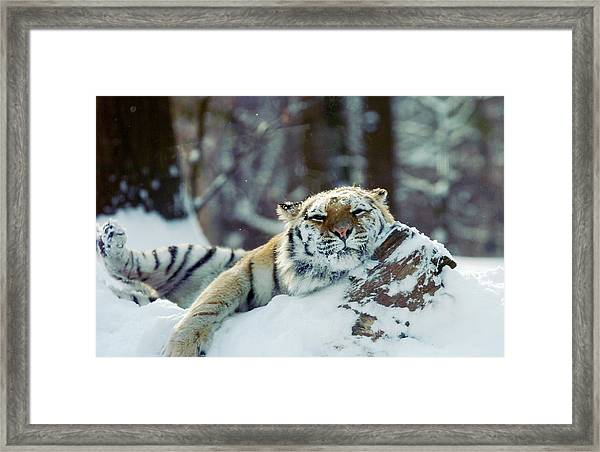 Siberian Tiger At The Bronx Zoo Is Framed Print