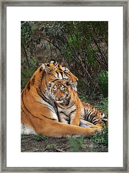 Siberian Tiger Mother And Cub Endangered Species Wildlife Rescue Framed Print