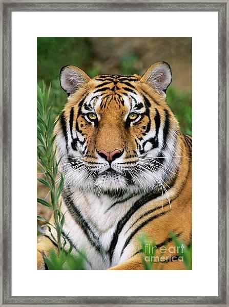 Siberian Tiger Staring Endangered Species Wildlife Rescue Framed Print