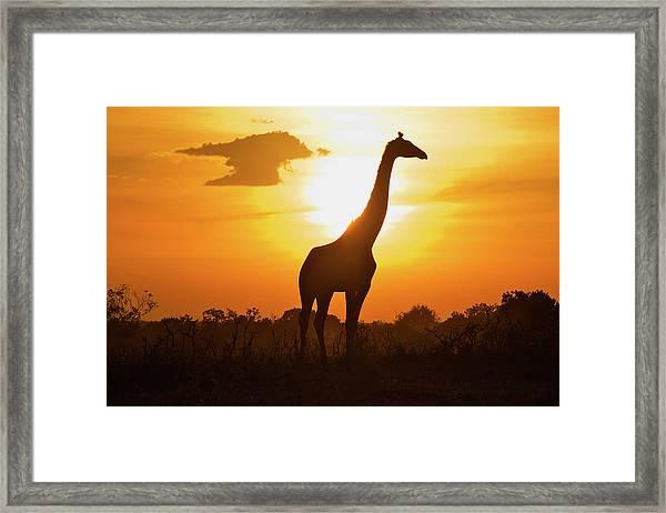 Silhouette Giraffe At Sunset Framed Print