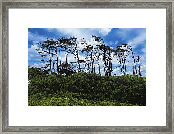 Silhouettes Of Wind Sculpted Krumholz Trees  Framed Print