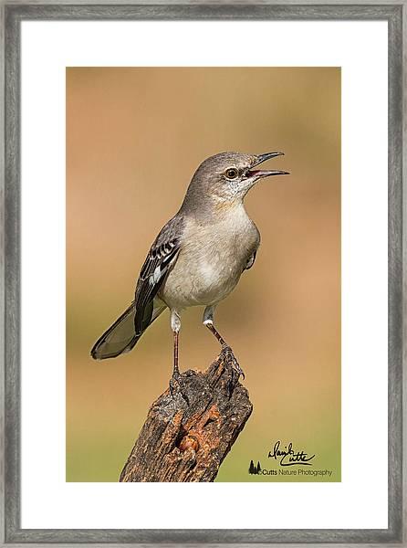 Singing Mockingbird Framed Print