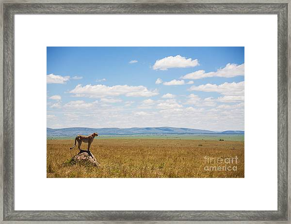 Single Cheetah In The Middle Of The Framed Print