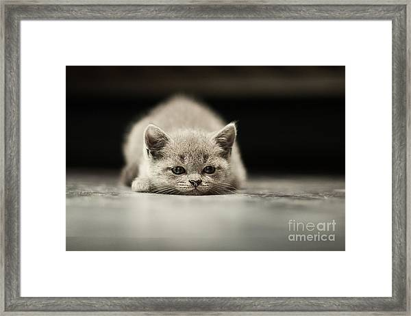 Sleepy British Kitten Over Black Framed Print