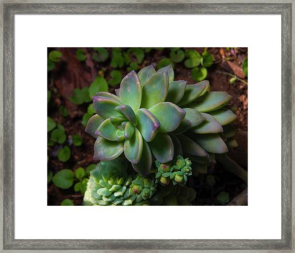 Small Succulents Framed Print