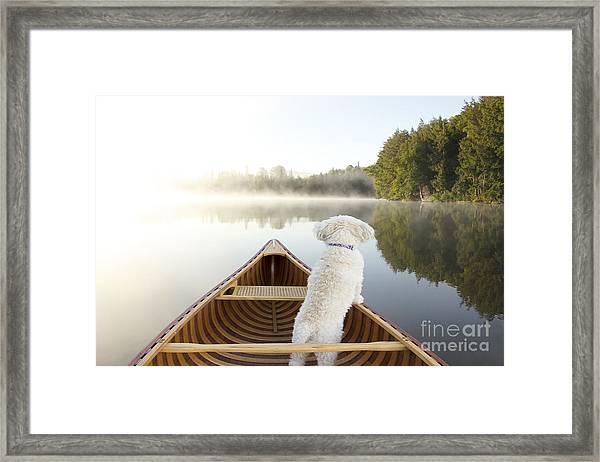 Small White Cockapoo Dog Navigating Framed Print