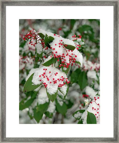Snow Covered Winter Berries Framed Print