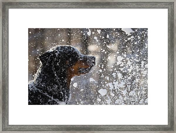 Snow Dog Framed Print