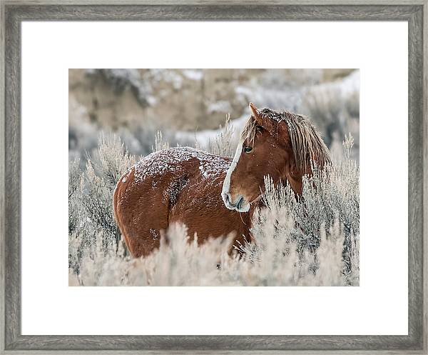 Snow Dusted Mustang Stallion Framed Print