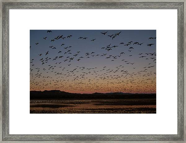 Framed Print featuring the photograph Snow Gees Blastoff by Nicole Young