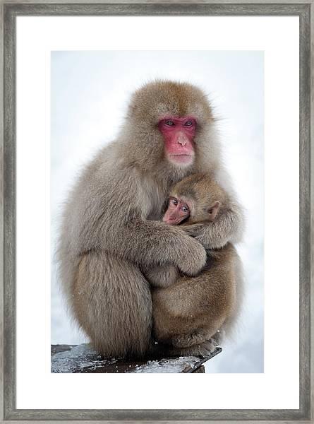 Snow Monkey Framed Print