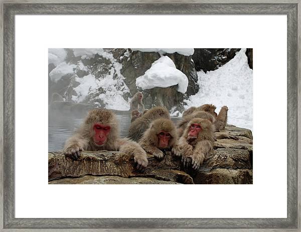 Snow Monkeys Framed Print