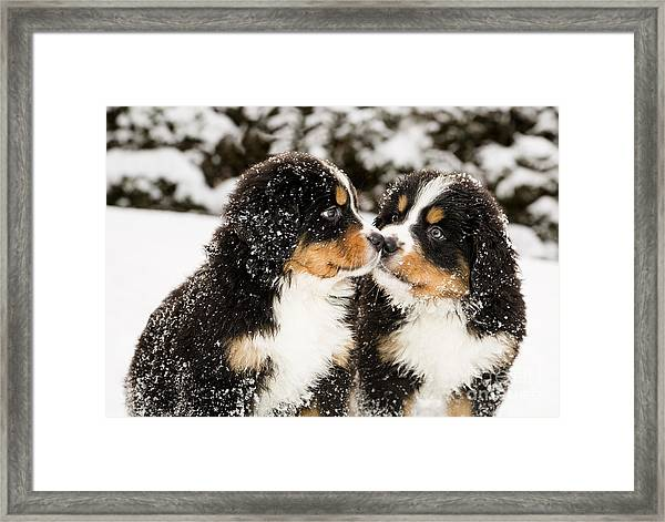 Snowy Bernese Mountain Dog Puppets Framed Print