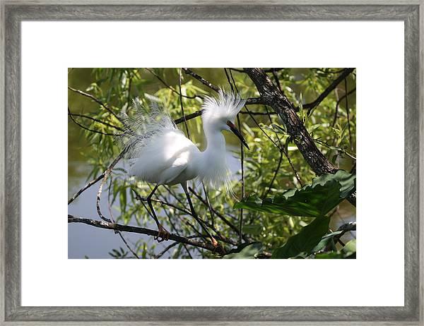 Snowy Egret 4031202 Framed Print