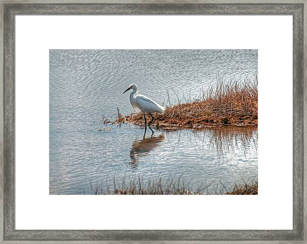 Snowy Egret Hunting A Salt Marsh Framed Print