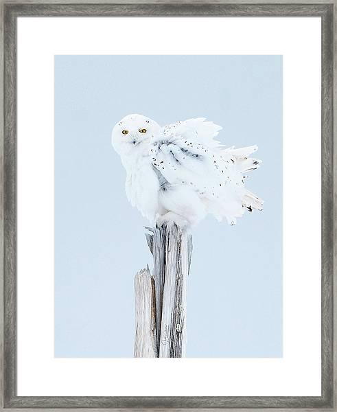 Snowy Owl Feather Shake Framed Print