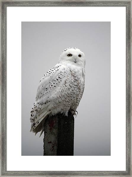 Snowy Owl In Fog Framed Print