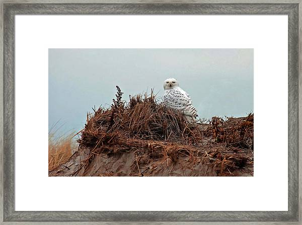 Snowy Owl In The Dunes Framed Print