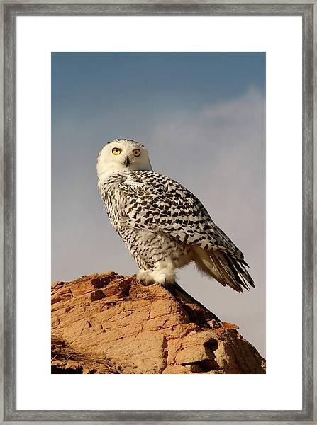 Snowy Owl On A Bluff Framed Print
