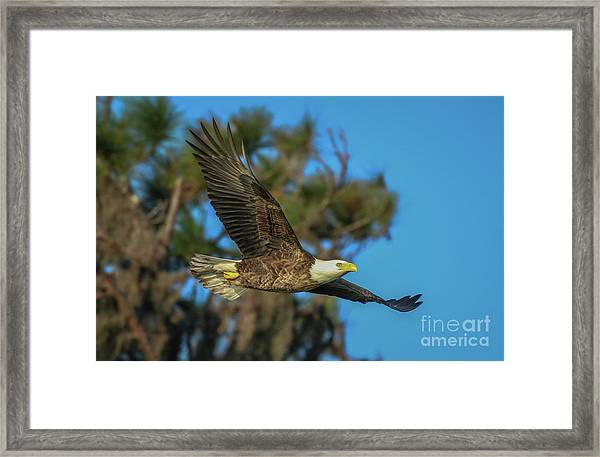 Framed Print featuring the photograph Soaring Eagle by Tom Claud