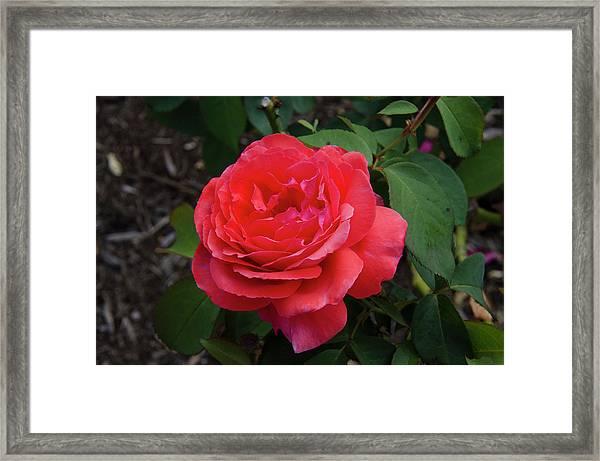 Solitary Rose Framed Print