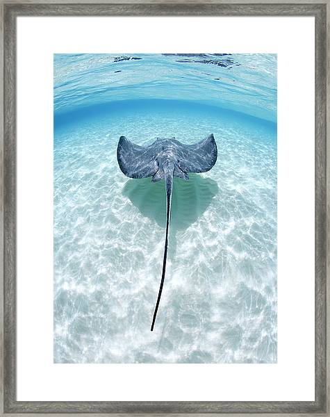 Southern Stingray Cayman Islands Framed Print by Justin Lewis