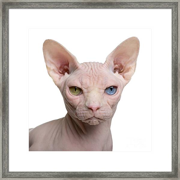 Sphynx Cat, 1 Year Old, In Front Of Framed Print