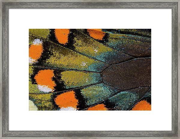 Spicebush Swallowtail Butterfly Wing Framed Print