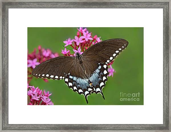Spicebush Swallowtail Papilio Trollus Framed Print