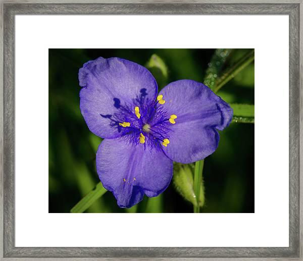 Spiderwort Flower Framed Print
