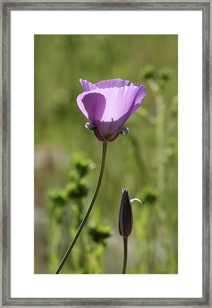 Splendid Mariposa Lily  Framed Print by Robin Street-Morris