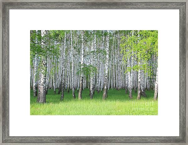 Spring Birch Grove Framed Print by Kirillov Alexey