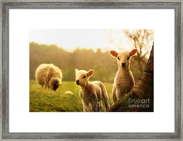 Spring Lambs Framed Print by Drew Rawcliffe