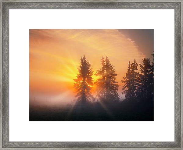 Spruce Trees In The Morning Framed Print