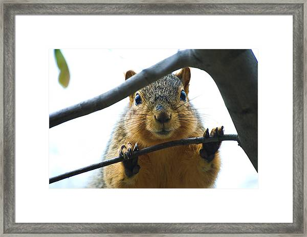 Spying Fox Squirrel Framed Print