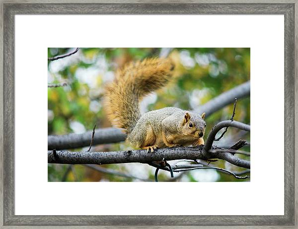 Squirrel Crouching On Tree Limb Framed Print