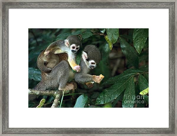 Squirrel Monkey In Amazon Rainforest Framed Print
