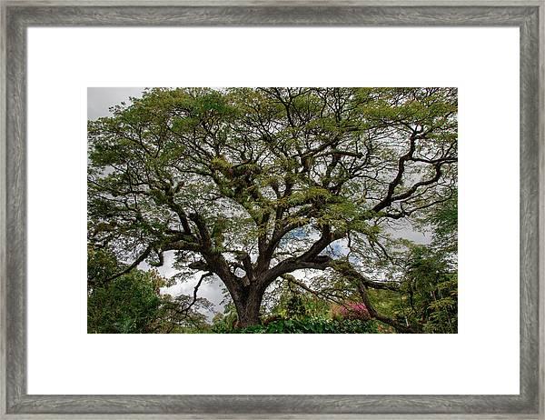 St. Kitts Saman Tree Framed Print